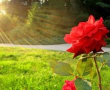 La rose et le soleil