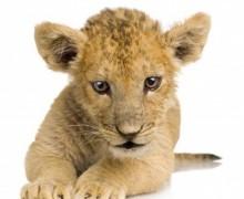 Un nouveau lionceau